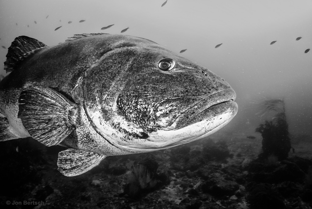 Giant sea bass - southern Channel Islands, CA