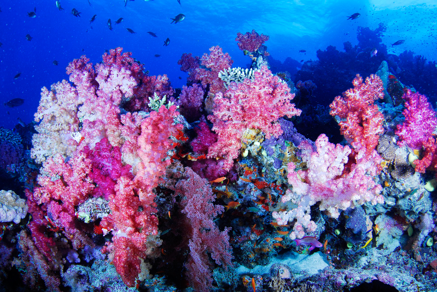 ... the white wall fiji red soft corals nudibranch dance mixed corals on