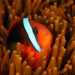 Anemonefish (Amphiprion frenatus)